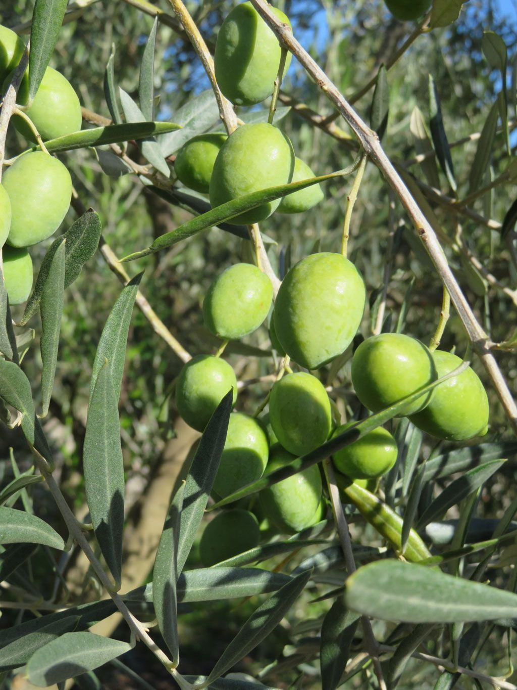 aceituna-picual-aceite-oliva-virgen-extra-oleumsecans